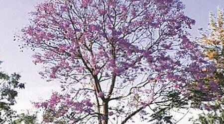 Chandigarh Tree talk: The blue spectacle