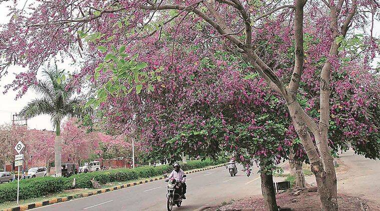 spring, spring season, chandigarh spring, tree talk, indian express tree talk, parks in chandigarh, parks in panchkula, Moulmein Rosewood, chandigarh news