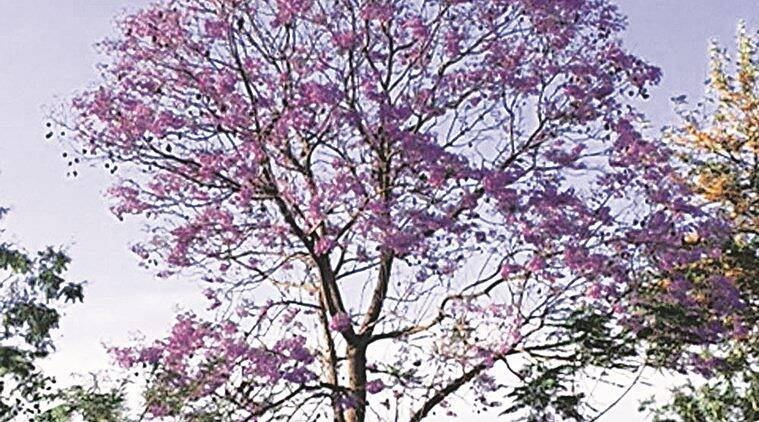 tree talk, tree talk indian express, chandigarh trees, trees in chandigarh, neeli gulmohar, neeli gulmohar tree, nee gulmohar tree chandigarh, chandigarh news