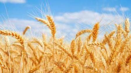 Cash credit limit: Wheat procurement crisis looms as banks say no to Punjab