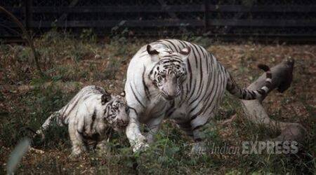 Tiger dies in Chandigarh zoo, Tiger dies in Zoo, Tiger dead, Punjab news, Latest news, India news, National news,