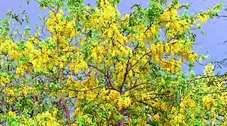 tree, tree and flowers, fruits and flowers of a tree, amaltas, amaltas golden hues, golden hues amaltas