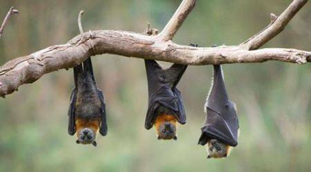 Gujarat: 250 bats scorched to death in Dahod district