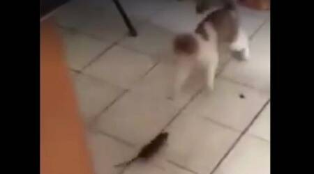 Viral videos, real-life Tom and Jerry, rat chases cat, rat gives cat a chase, funny videos