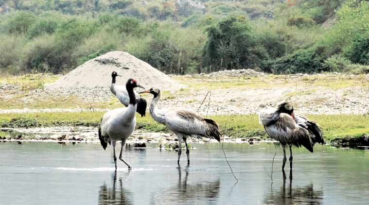 Tawang cranes, india monsoon, migratory cranes, National Green Tribunal, hydel project, black necked crane, crane wintering site, Nyamjang Chhu river, india news