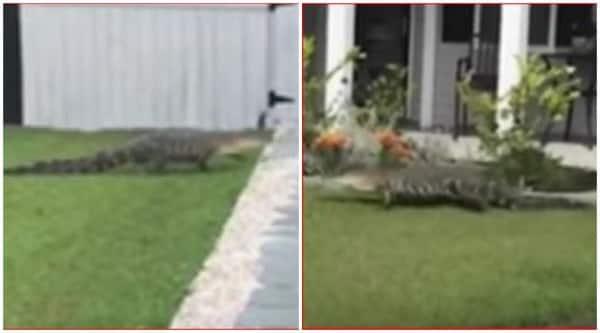 Crocodile Rings Doorbell
