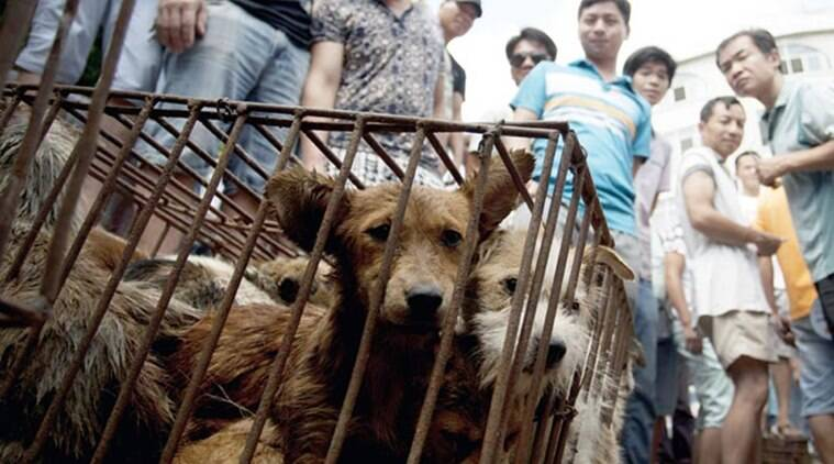 dog meat festival, dog meat, china dog meat consumption, ban on dog meat festival, cruelty on dogs china, animal cruelty china