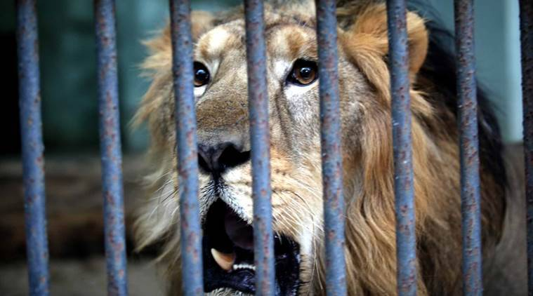 Lion, Lions attack man, Junagarh Town, Gujarat, Gujarat lions, Gir forests, gir lion attack, Gujarat forest department, Lion attack, Ahmedabad, Gujarat news, india news