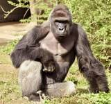 Ohio's Cincinnati Zoo defends shooting of 17-year-old gorilla