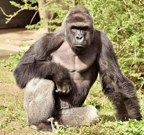 Harambe, Cincinnati Zoo and Botanical Gardens