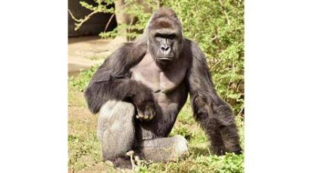 Criminal charges possible in killing of Cincinnati gorilla