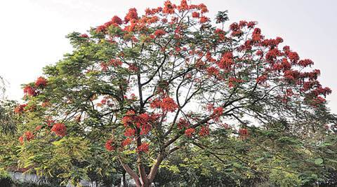 Gulmohar Tree in sector 09 Chandigarh on Saturday, April 30 2016. Express Photo by Sahil Walia