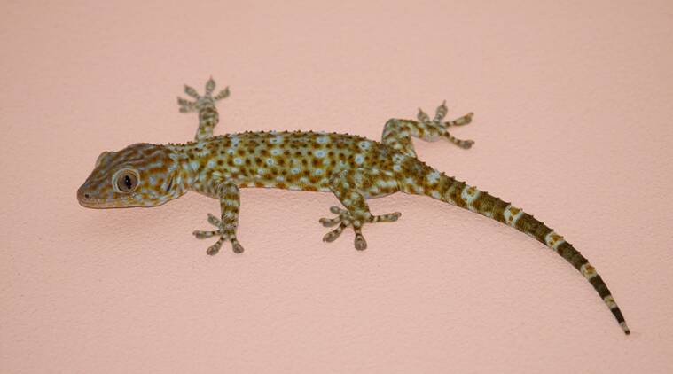 Lizard tail may hold key to regrowing human organs | Lifestyle News