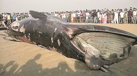 Forest dept to showcase whale beached at Mumbai's  Juhu in January