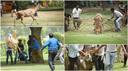 Stray Nilgai wanders near Parliament, Rashtrapati Bhawan; rescued later