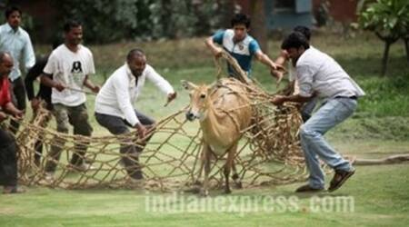 Nilgai that strayed into high security North Block area near Parliament rescued