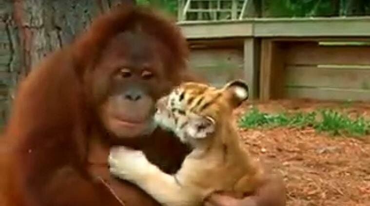 Viral videos, orangutan adopts tiger cubs, orangutan plays with tiger cubs, orangutan surrogate mother to tiger cubs,