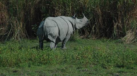 Rhinocerous in KAZIRANGA NATIONAL PARK. *** Local Caption *** Rhinocerous in KAZIRANGA NATIONAL PARK. Express photo by Subham Dutta