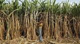 India sugar output to drop below consumption levels: Industry body