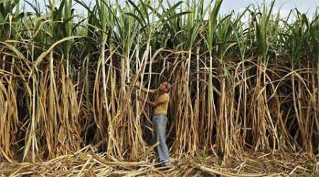 Sugarcane farmer dues Rs 700-800 cr, says PM Modi but data says Rs 5,795 cr