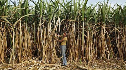 sugarcane farmers, india sugarcane farmers, cane farmers debt, india sugarcane farmers debt, cane farmers due, sugarcane farmers due, modi sugarcane farmers, narendra modi, india news, latest news