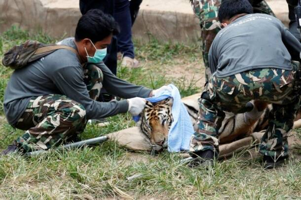 thailand, tiger temple, thailand tiger temple, tiger temple thailand, tigers removed thailand temple, tigers removed tiger temple, thailand wildlife activist, thailand tiger temple evacuation, thailand tiger temple photos, tiger temple photos, thailand news, world news, latest news,
