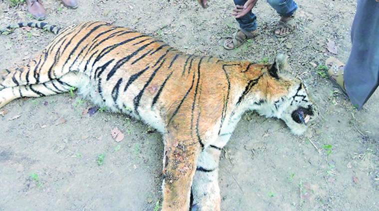 Tiger death in Madhya Pradesh, MP Forest Officers Tiger Death, Blame Game on tiger deaths, Madhya Pradesh news, Indian Express News
