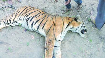 MP forest officers in blame game over tiger deaths