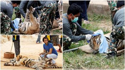 End of the Thailand tiger selfie, as 40 big cats rescued from temple