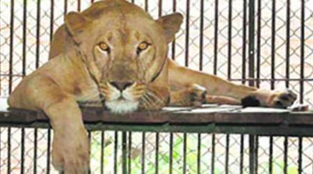 Gujarat: Lioness mauls woman to death in Gir