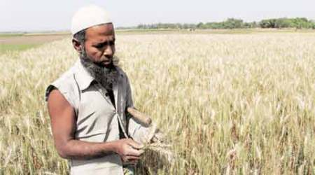Killer disease of wheat is lurking close, but India needn't worry yet