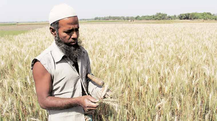 Wheat blast disease, Bangladesh farmers, wheat crop, wheat fungal disease, wheat blast, wheat blast South America, Magnaporthe oryzae fungus, Indian Institute of Wheat and Barley Research, ICAR, Indian farmers, India news
