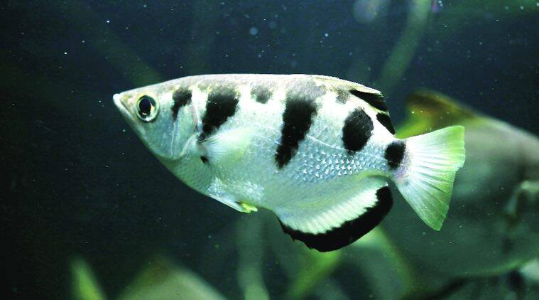 fish, archerfish, tropical aquatic creature, aquatic creature, tropical creature, science news