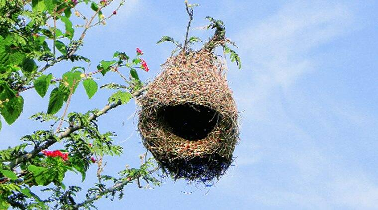 Baya Weaver, Baya Weaver nests, Baya Weaver mating, Baya Weaver mating season, birds mating season, maharashtra news