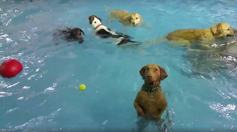 non-swimming dog, can the non-swimming dog swim, Beya, Beya the non-swimming dog, viral videos,