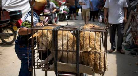 Chinese dog meat festival, dog meat festival, Chinese dog meat festival ban rumours, world news, indian express news