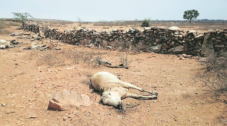 rajasthan , parched rajasthan, drought in rajasthan , water crisis in rajasthan, cow protection, beef ban, cow ministry, kochar village, BJP, congress, indian express news, india news, latest news, cow news, news on cow
