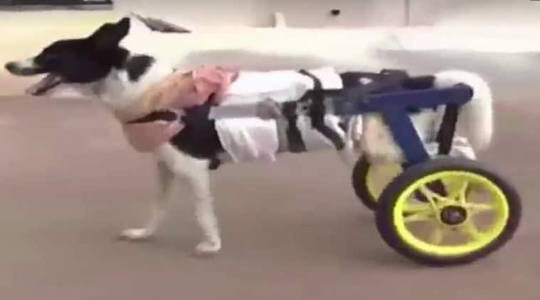dog on wheel cart, stray dog with wheel cart, vet designs wheel cart for disabled dogs, wheel cart for dogs, Dr Madan Kompal, good news