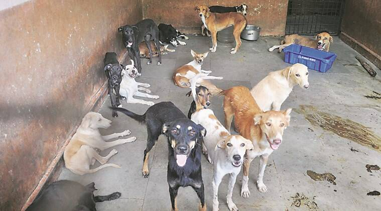 Dogs crammed in unhygenic conditions at the Sterlization Centre of the PCMC.Express Phot,04.06.16,Pune.