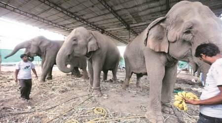 brahmaputra river, elephant, elephant lost, elephant in bangladesh, elephant flows bangladesh, elephant separated from herd, india news