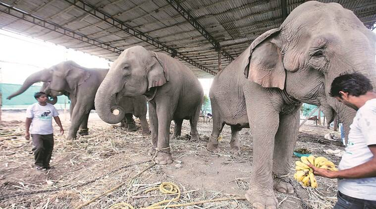 Elephants rescued from Rambo circus are chained in ResQ, a rescue centre in Bhavdhan. Express Photo by Arul Horizon, 02-06-2016, Pune