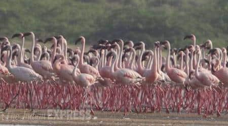 Lesser flamingos take flight as Chhaya Rann goesdry
