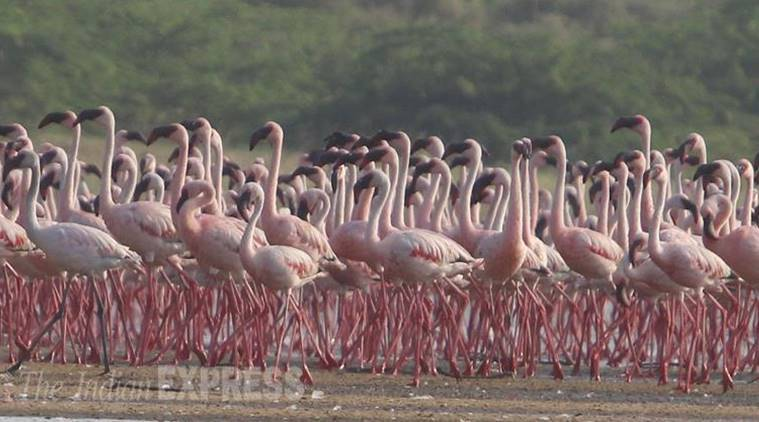 Flamingo, BNHS, Bombay Natural History Society, flamingo mitigation efforts, mumbai news, indian express