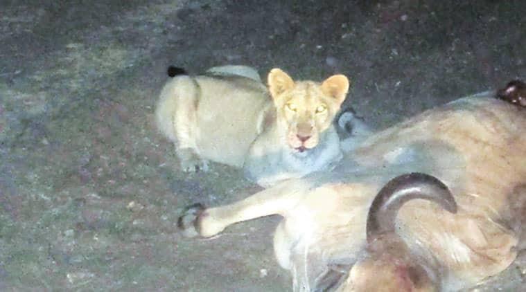 gir, gir lions, gir forest, amreli, amreli lions, gujarat lions, gir man eaters, gir man eater lions, gujarat forests, gujarat news, india news