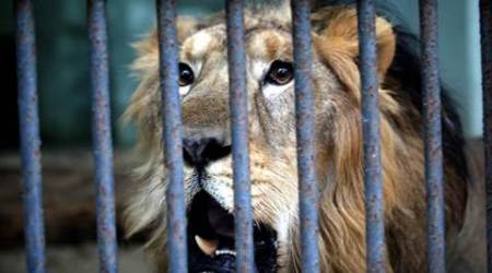 Selfie with lions, selfie with daughter, lion selfie, Gujarat forest department, gujarat lion selfies, selfie accident, Gujarat lions, lions, India lions, lion census, Gujarat forest, Gujarat lion selfie, lion related deaths, lion kills, lion kill, Ahmedabad news, India news, national news, latest news, Gujarat news
