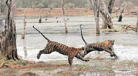 'Huge jump' in tiger numbers in Uttarakhand