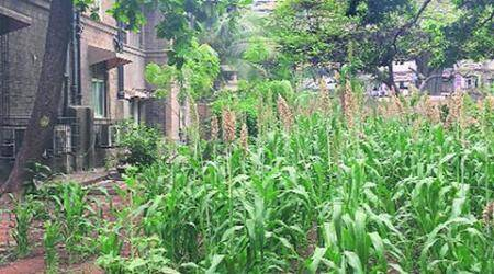 In JJ Hospital, a jowar farm now feeds migratory birds