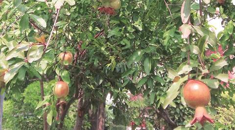 Chandigarh, Japanese garden in Chandigarh, Chandigarh sector 31, pomegranate trees, Islamic Nasrid Dynasty, pomegranate trees in Chandigarh, latest news, India news, Punjab News