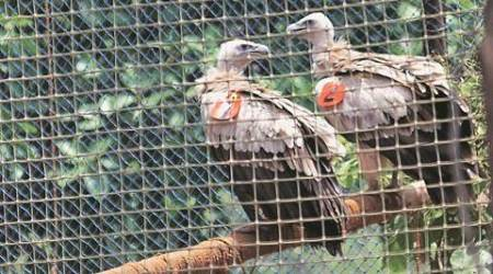 Two Himalayan Griffon vultures take wing from Jatayu Breeding and Conservation Centre