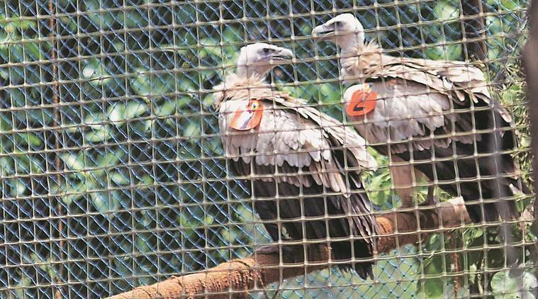 Himalayan Griffon vultures,Jatayu Breeding and Conservation Centre, Pinjore vultures fly, vultures reintroduced nature, Haryana vultures take flight, Haryana vultures free, Haryana news, environment news, India news, latest news, national news,environment, nature, bird watch